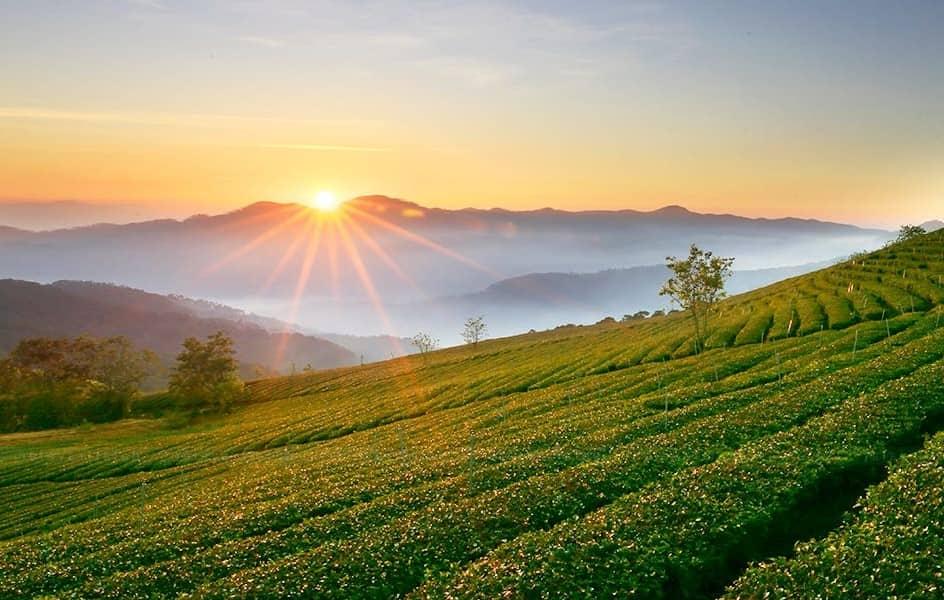 Dalat tea plantation