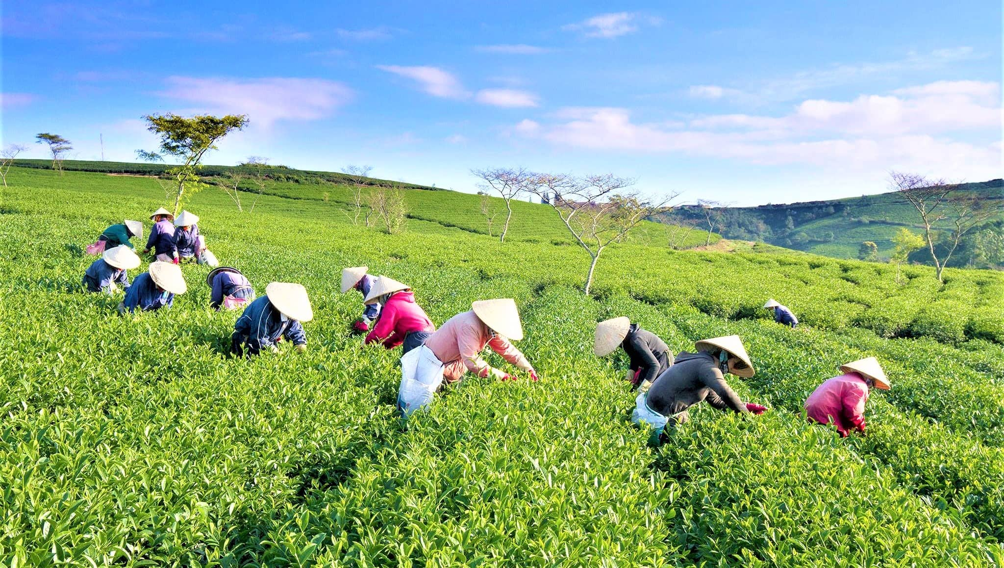 Image result for Coffee And Tea plantation